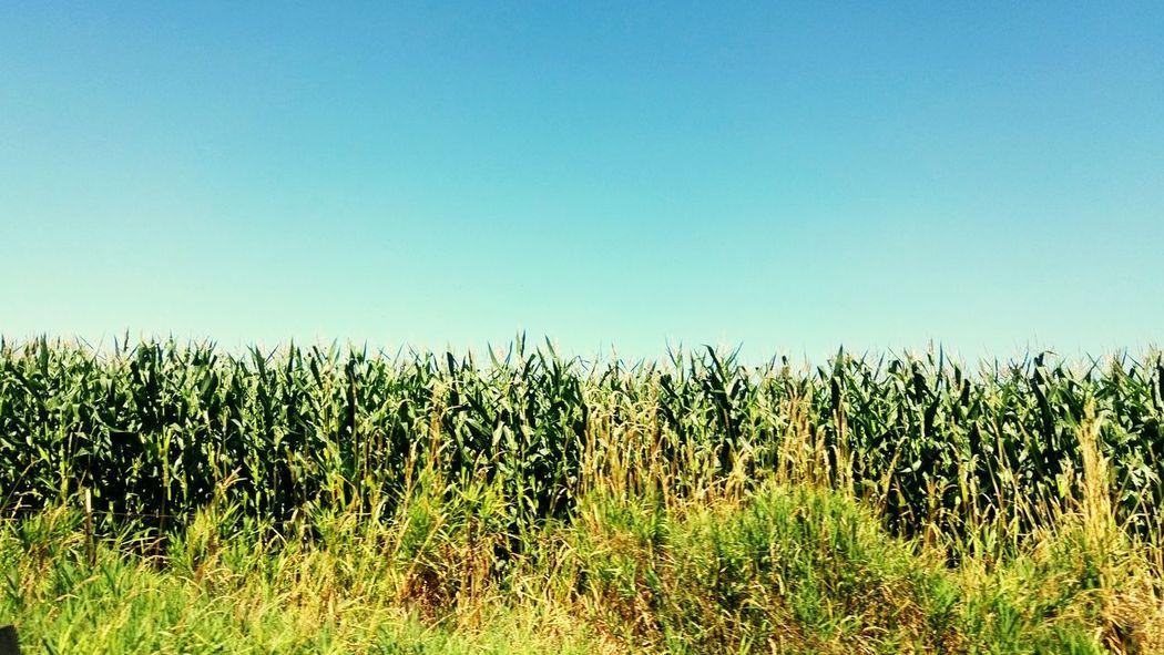Corn MesoCorny Taking Photos Green Corn Stalking Life Is Beautiful Treethugger Washington Summers End Greenlife Naturerox