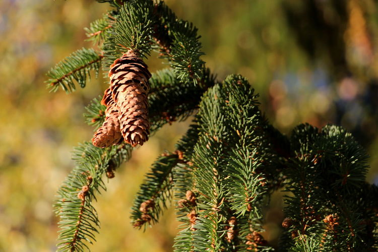 Focus On Foreground Plant Growth Tree Close-up Green Color Beauty In Nature Day Nature Selective Focus Plant Part Coniferous Tree Branch Needle - Plant Part Tranquility Spruce Tree Spruce Cone