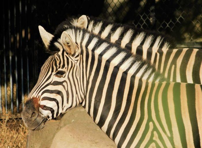 Close-up of zebra in zoo