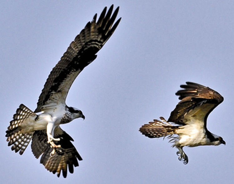 Animal Wing Beauty In Nature Bird Bird Of Prey Clear Sky Flying Low Angle View Mid-air Nature No People Ospreys Outdoors Spread Wings