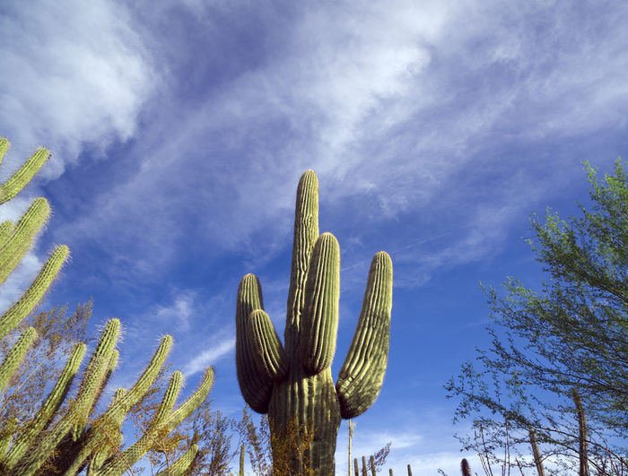 Arizona Desert Botanical Garden Beauty In Nature Cactus Day Growth Low Angle View Nature No People Outdoors Plant Saguaro Cactus Sky