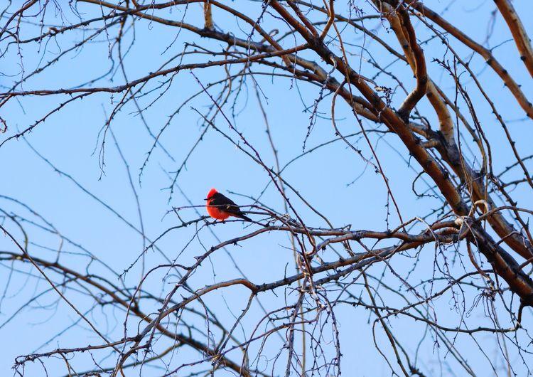 vermilion flycatcher Red Bird Bird Photography Animal Animal Themes Utah Nature Vermilion Flycatcher Wildlife Bird Perching Tree Branch Red Bare Tree Sky