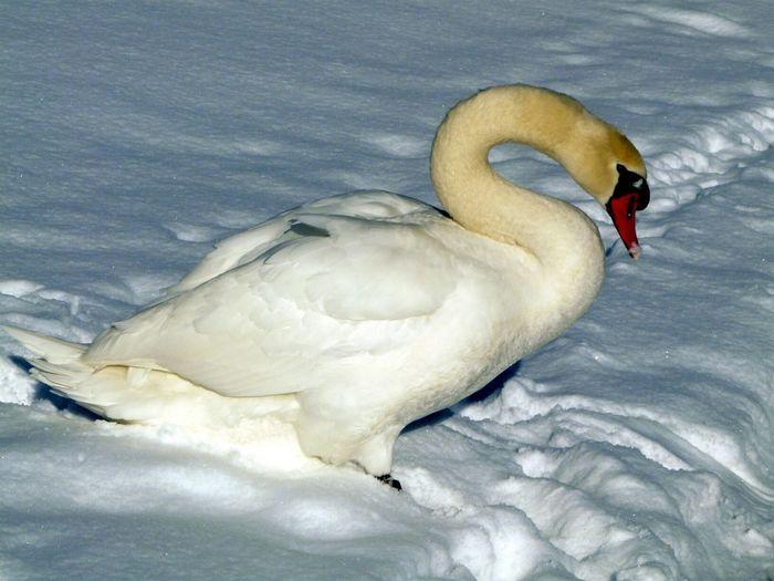 Winter Swan Snow