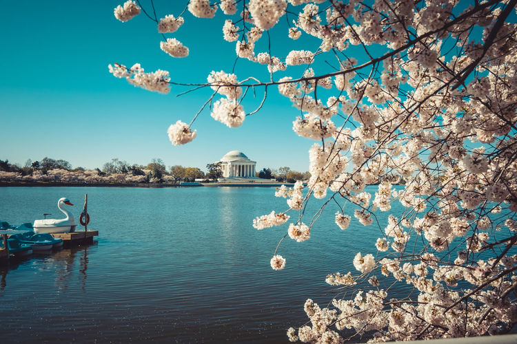 Blossom Tree By Tidal Basin Against Jefferson Memorial In City
