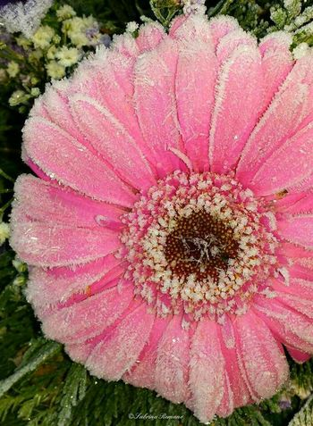 🌼 Flowers Flower Collection Flowerporn Flowers,Plants & Garden Flowers, Nature And Beauty Followme Follow4follow Eye4photography  EyeEm Nature Lover EyeEm Best Shots Nature_collection Nature Photography Naturelovers Macro Nature Macro_collection EyeEm Best Shots - Macro / Up Close Macro Photography Frost Cold Winter Daisy Daisy Flower Gerbera Flower Petal Pink Color Nature Flower Head Beauty In Nature Close-up