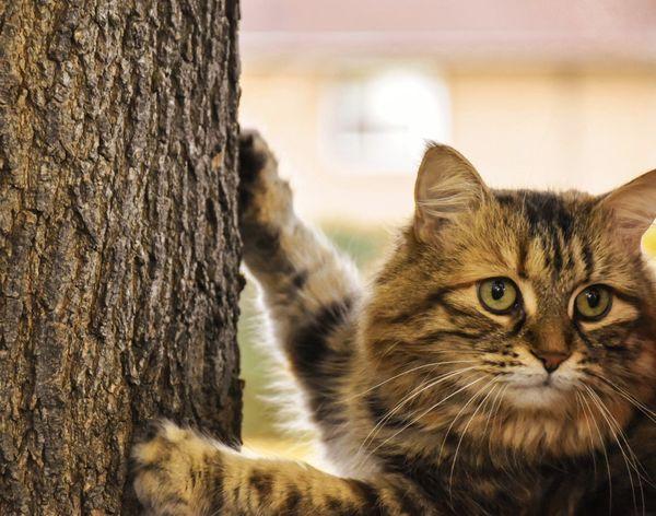 Cat climbing tree Domestic Cat Pets Domestic Animals Tree Trunk Mammal Portrait One Animal Feline Looking At Camera Outdoors Animal Themes Nature Cat Lovers Cats 🐱 Cats Of EyeEm Cat Climbing A Tree
