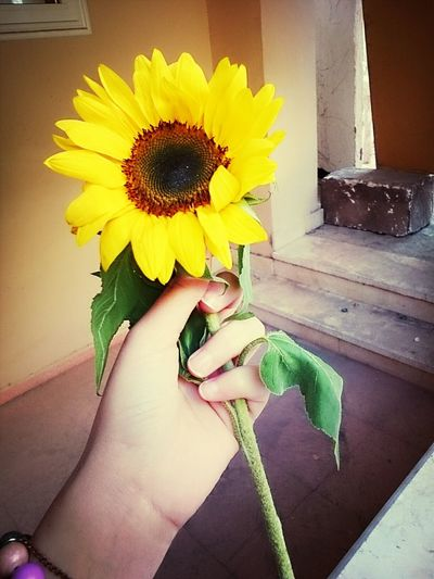 Gift from new close friend Working Sunflowers Myhand
