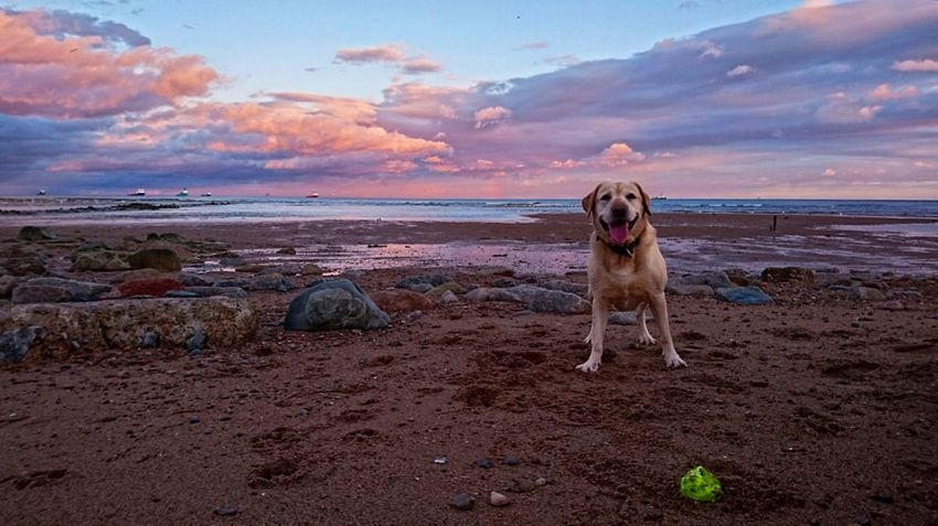 Dog Pets Sand Beach Sunset Sea Domestic Animals Water Sky Nature Animal Themes Labrador Cluds Labrador Retriever Dogy Beuaty Of Nature Pinkskysunset Vibe Lab Scenics Cloud - Sky Dramatic Sky Photo Photography One Animal Perspectives On Nature