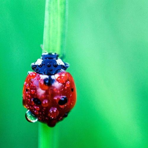 Ladybird Red Green Waterdrops Macrography Raminrahmani Macro Beauty