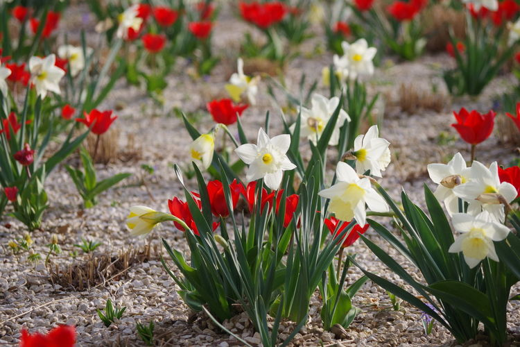 Close-up of red tulip flowers on field