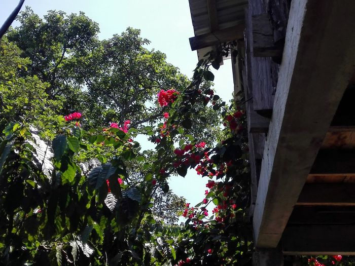 Buganbilia Tree Nature Beauty In Nature Sky Flower Red Flower