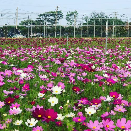 Fields Of Flowers Blooming Blooming Flower Flowering Plant Flower Plant Beauty In Nature Growth Fragility Freshness Nature Day Petal Springtime Field