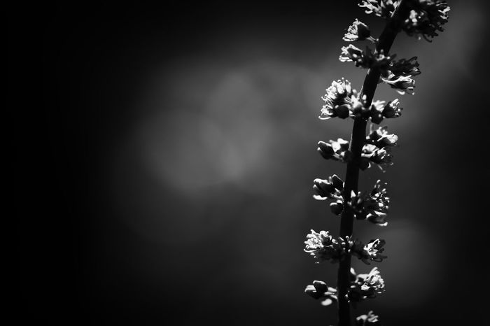 B&W Collection B&w Flowers B&w Nature Beauty In Nature Botany Dark Flower Focus On Foreground Freshness Nature Plant Twig