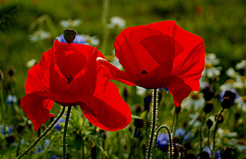 Beauty In Nature Close-up Day Field Flower Flower Head Flowering Plant Focus On Foreground Fragility Freshness Growth Inflorescence Nature No People Petal Plant Plant Stem Pollen Poppy Red Vulnerability  EyeEmNewHere