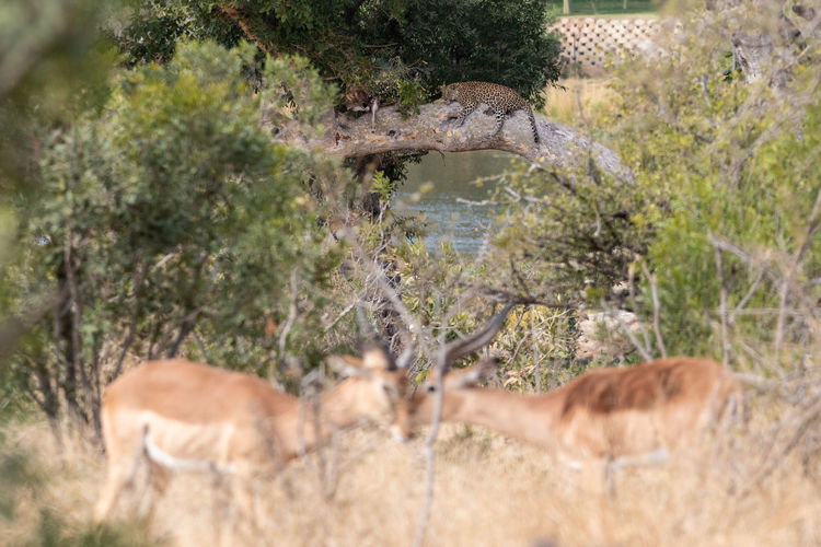 Leopard Leopards Leopard On A Tree Leopard On A Branch Antelope Animal Themes Mammal Animal Wildlife Animals In The Wild Group Of Animals Two Animals Leopard Kill Kruger Park Safari Animals BIG Big Cat Big5