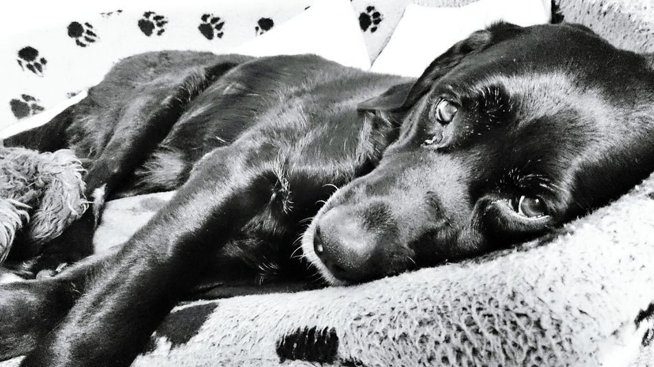40 more winks Dad.....40 more winks. Dog Sleeping Rest Relax Relaxing Chill Mode Chilling Sleep Snooze Time Sunday Morning Sunday No Rush Blackandwhite Photography Blackandwhite Time Out Bed Quiet Moments Quiet Places Dreaming Hanging Out No People Rescue Dog Check This Out Enjoying Life