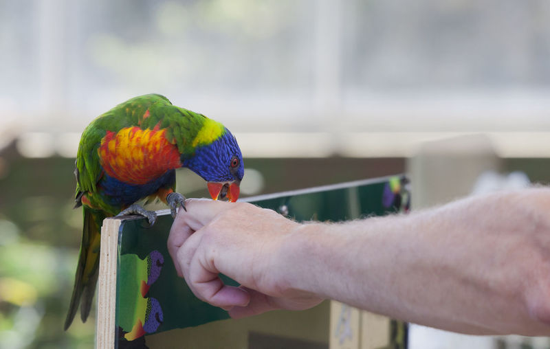 Rainbow Lorikeet biting in forefinger - Trichoglossus haematodus Bird Biting Care Curiosity Cute Pets Exotic Exotic Pets Feeding  Hand Human Finger Human Hand Hungry Lorikeet Nibbling Pampered Pets Parrot Parrot Lover Parrots Perching Pet Pet Owner Playful Rainbow Lorikeet Tame Trichoglossus Haematodus