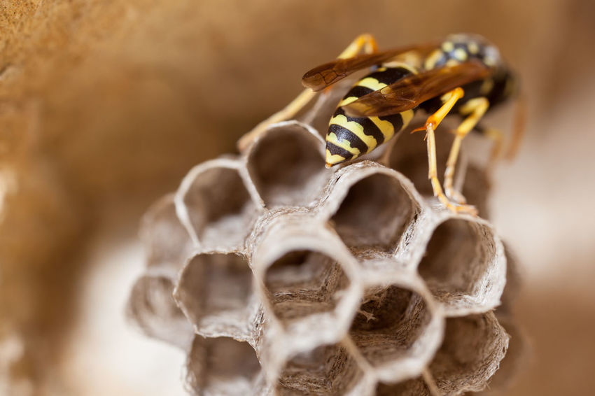Paper Wasp building Nest Macro Photography Nesting Paper Wasp Animal Themes Animals In The Wild APIculture Bee Beehive Close-up Day Focus On Foreground Fragility Honeycomb Indoors  Insect Macro Nature Nest No People Oculii Paper Wasp Nest