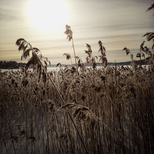 Frozen reed in the winter. Beauty In Nature Day Landscape Nature No People Reed Sky Tranquility Water