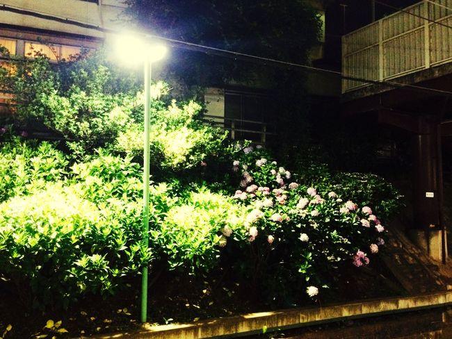 紫陽花ロード 2