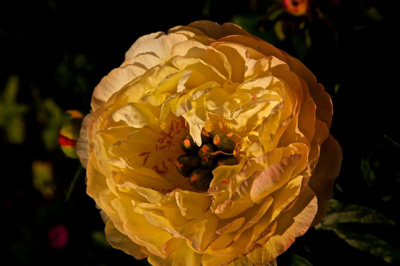 Beauty In Nature Blooming Flower Flower Head Fragility Growth Nature Peony Flower PeonyBloom Petal