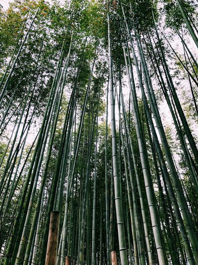 Plant Growth Tree Green Color Bamboo - Plant Bamboo Low Angle View Bamboo Grove Beauty In Nature No People Nature Tranquility Outdoors Forest