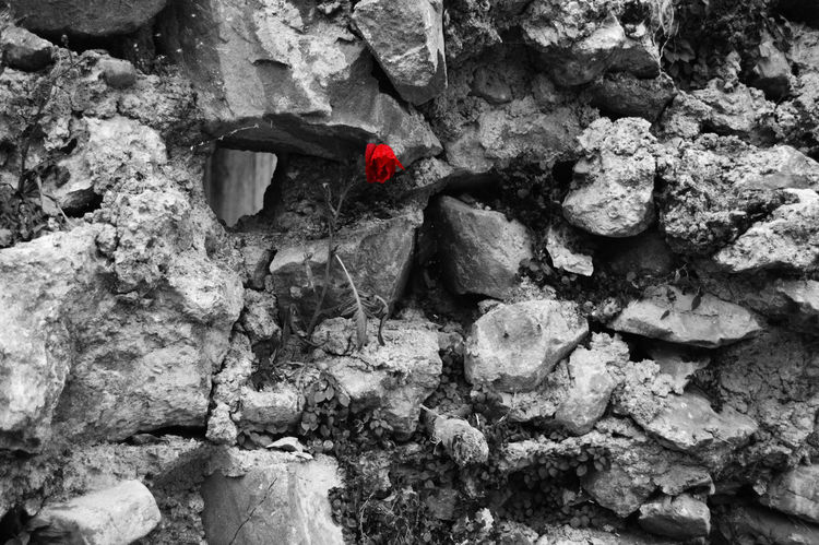 A red rose grown on a stone wall. April Showcase Beauty In Nature Black And White Blackandwhite Flower Old Wall Outdoors Paddock Red Flower Red Flower At Its Best Red Rose Rock Stone Stone Wall Wall Fine Art Photography