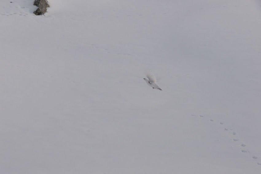 Animal Bird Lagopus Lagopus Lagopus Scotica Negative Space Ptarmigan Running Running Away Snow Snow Grouse The Alps Trace Track White White Out Winter