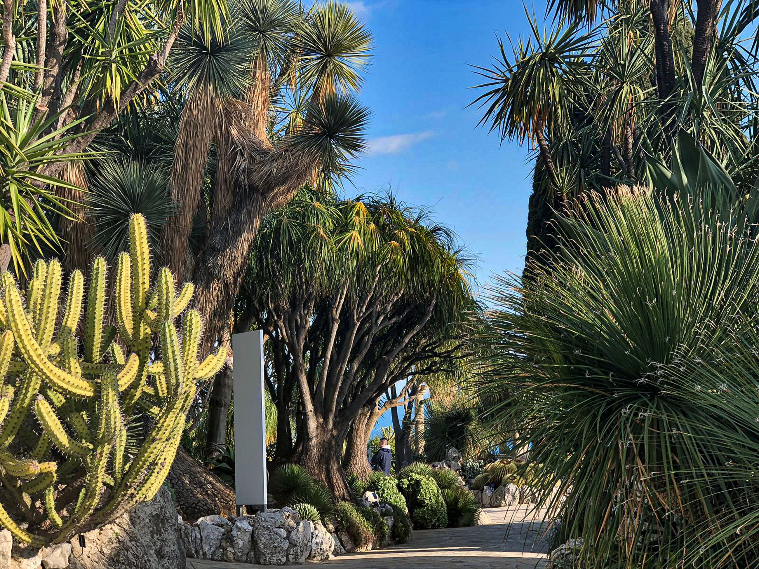 plant, tree, palm tree, growth, tropical climate, nature, day, sky, succulent plant, cactus, green color, sunlight, no people, tranquility, beauty in nature, outdoors, park, footpath, park - man made space, tranquil scene, palm leaf