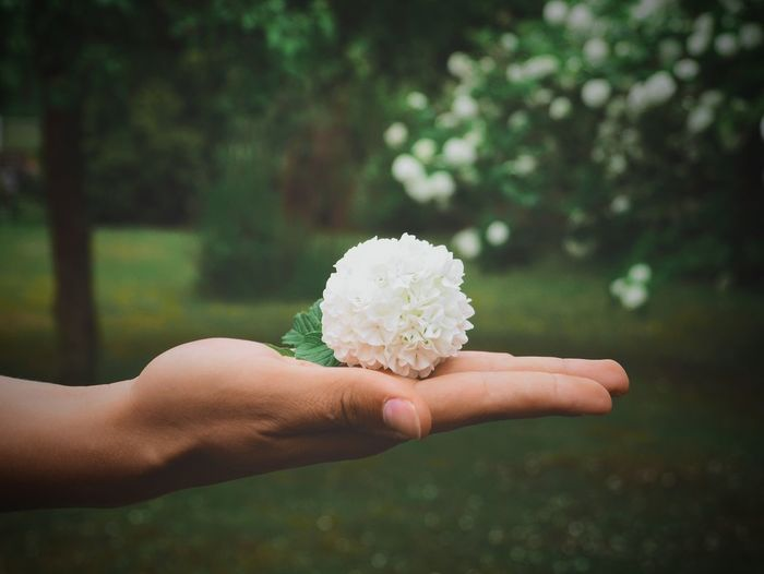 Cropped Hand Of Person Holding Japanese Snowball Flower On Field