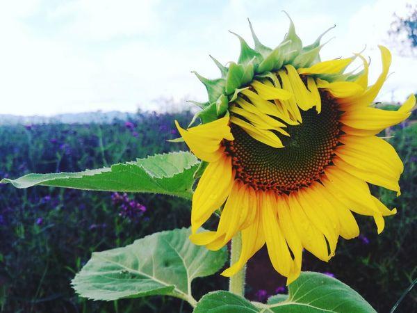 สดชื่น First Eyeem Photo Thailandtravel Chiangmai,Thailand Monjam Foggy Morning Better Days Flowers,Plants & Garden Mountains And Sky Sunflower🌻 Hilltop MeizuMX4Pro Mobile Photography Travel