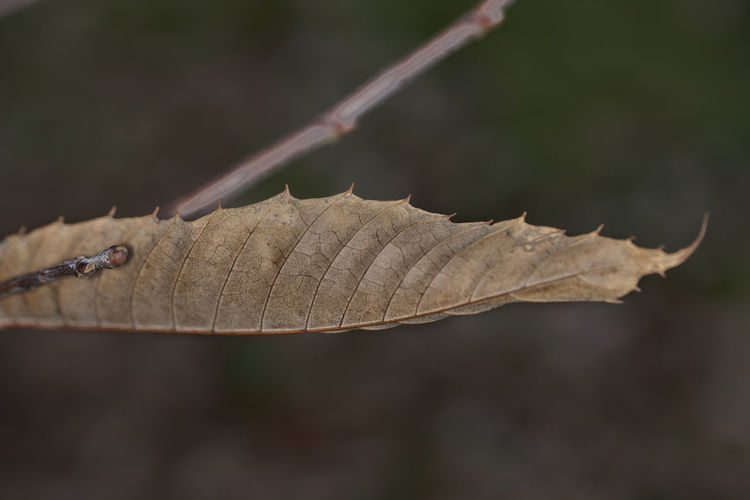 Close-up of dried autumn leaf