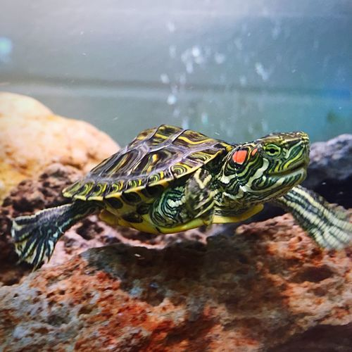 Close-up of young red eared slider turtle swimming in undersea