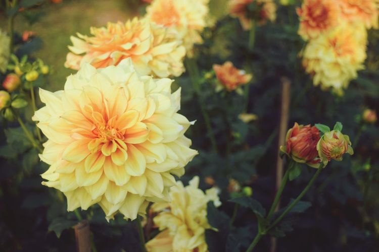 Flower Head Flower Multi Colored Leaf Yellow Petal Close-up Plant Flowering Plant In Bloom Blooming Dahlia Botany Blossom