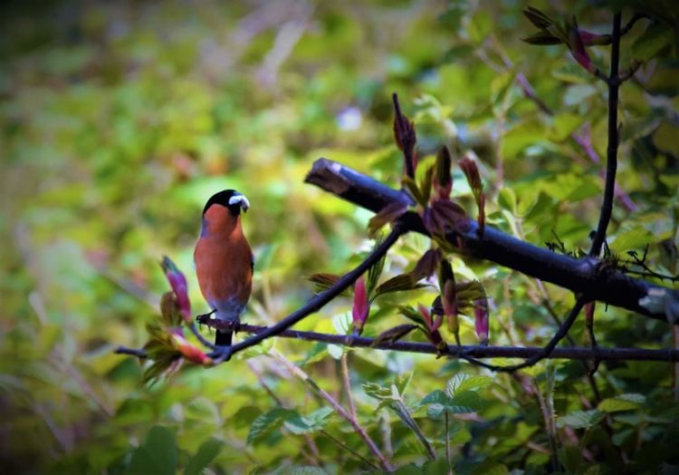 Bird Animals In The Wild Perching Animal Wildlife Beauty In Nature No People Branch Animal Themes One Animal Nature Tree Day Outdoors Bullfinch UK Birds Bullylife