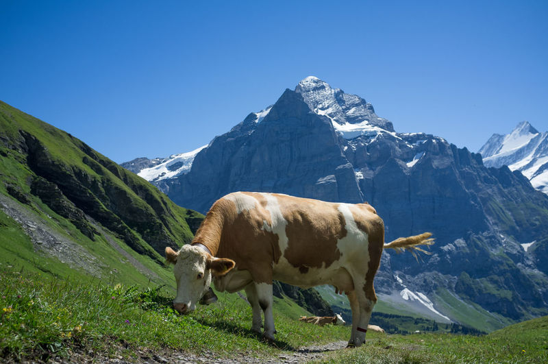 cow and eiger Adventure Alps Bern Berner Oberland Bernese Oberland Cow Eiger Eiger Moench Jungfrau First Grass Grindelwald Hike Landscape Mountain Mountain Range Mountains Nature Outdoors Peak Scheidegg Snow Summer Switzerland Tourism Wanderlust