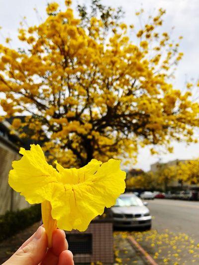 Taichung Yellow