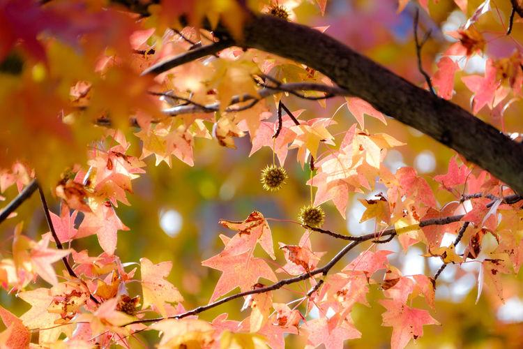 あきいろ Fujifilm_xseries FUJIFILM X-T1 EyeEm Best Shots EyeEm Gallery Fukuoka Kitakyushu Japan Light And Shadow Nature Beauty In Nature Autumn Collection Taking Photos アメリカ楓