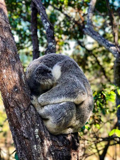 Koala taking a nap 🐨 💤 EyeEm Best Shots EyeEmNewHere EyeEm Nature Lover Endangered Species Australia Magneticisland Tree Nap Chilling Koala Animal Wildlife Tree Plant Focus On Foreground Close-up Day Nature Growth