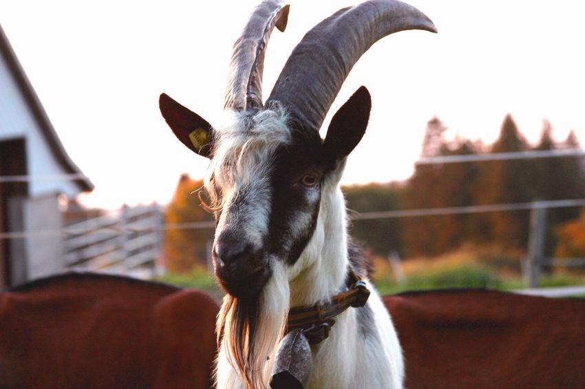 suspicious Nopeople EyeEm Nature Lover Eyem Best Shots Eyem Best Edits Goat Horns Sunlight Sunset Animal Outdoors Close-up Portrait