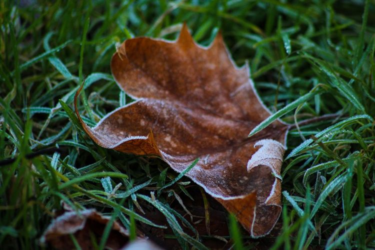 Morning frost Leaf Autumn Change Dry Nature Fragility Outdoors Beauty In Nature Close-up Day Grass Focus On Foreground No People Maple Maple Leaf
