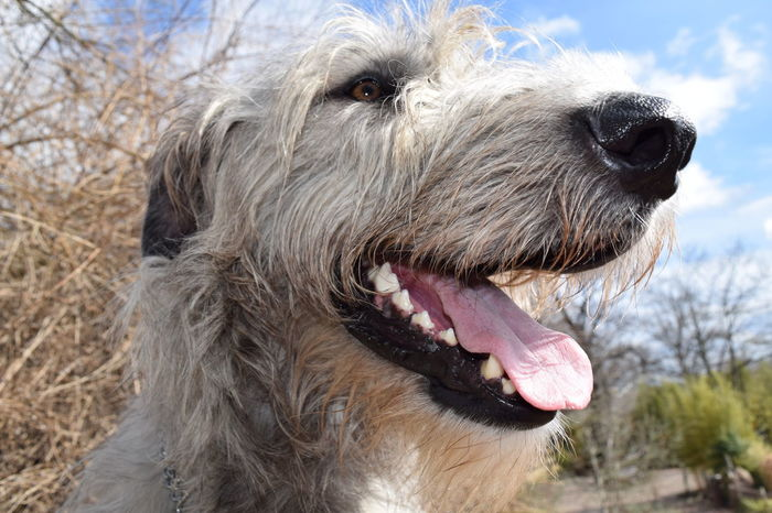 One Animal Dog Pets Sky Outdoors A Walk In The Park Dogwalk From My Point Of View Dog Of The Day Dogs Of EyeEm Dogslife Cearnaigh Irish Wolfhound Bokeh Sunlight Winter 2017 March 2017 Animal Head  Close-up