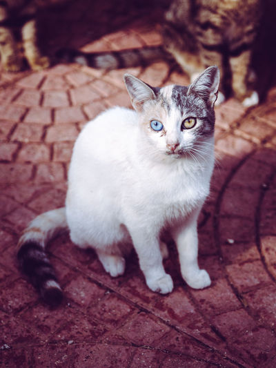 Cat Cats Cat Lovers Cat♡ Cats Of EyeEm Cute Cats Cute Pets Cute Different Eye Color Blue Eyes Brown Eyes White Color
