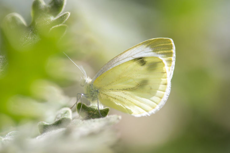 Beautiful Cabbage Butterfly (Pieris brassicae) camouflaged on a flower. Beautiful Bright Cabbage Butterfly European  Green Nature Plant Brassicae Butterfly Cabbage Cabbage White Butterfly Europe Flower Insect Insects  Large Lepidoptera Macro Pierisbrassicae Spring Summer White Wildlife Wings Yellow