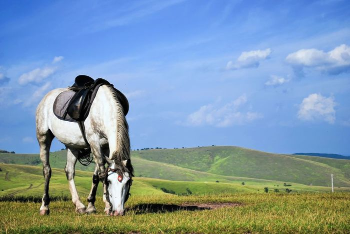 Highland grazing horse 🐎 Animal Themes Cloud - Sky Domestic Animals Grazing Grazing Grass Grazing Horse Highland Highland Horse Highlands Horse Horse On Glade Horse Saddle Horse Saddled Landscape Livestock Mountain Horse One Animal Saddle Saddled Up And Ready To Go Standing White Horse White Horse Portrait Gipsy Horse Balkans Balkan Folklore