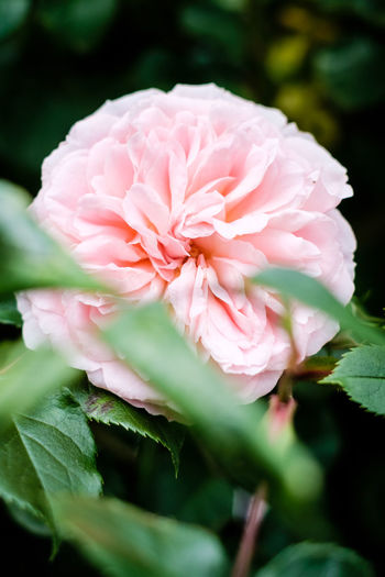Green Nature Plant Plants Beauty In Nature Blooming Close-up Colorful Flora Flower Flower Collection Flower Head Flowers Fragility Freshness Garden Growth Leaf Leaves No People Petal Pink Color Rose - Flower Rose Garden Roses