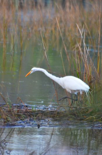 Animals In The Wild Beak Beautiful Beauty In Nature Bird Creekside Day Egret Walking In Creek Feeding Time Horizontal Symmetry Marshgrass Mt. Pleasant Nature No People One Animal Side View South Carolina United States Water White Color White Egret Wildlife