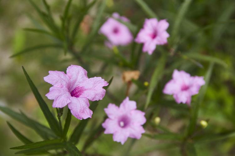 Pink minnieroot