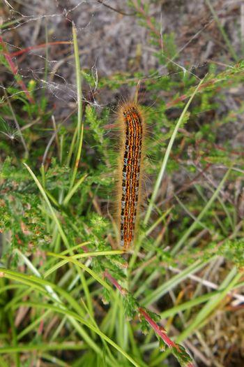 Caterpillar Rups Kzoom
