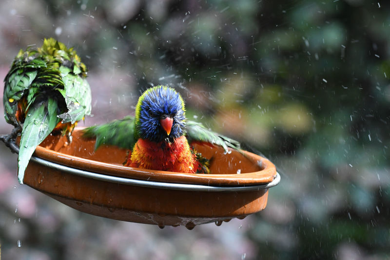 Close-up of a parrot in water